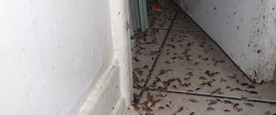 Massive cockroach infestation