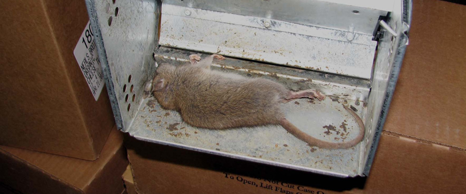 Dead rat in a trap