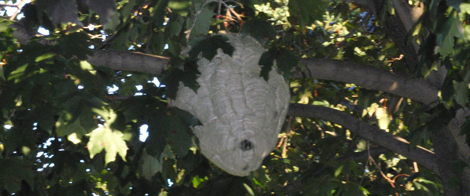 Typical wasp nest
